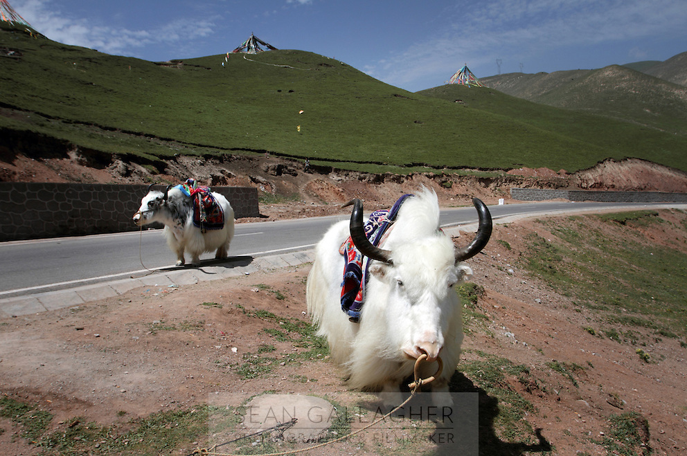 Yaks by the side of the road on the Qinghai-Tibetan Plateau, Qinghai Province. China. 2010