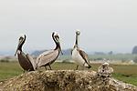 Brown Pelican (Pelecanus occidentalis) group, Elkhorn Slough, Monterey Bay, California