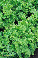 HS21-650x  Lettuce - Simpson Elite variety - leaf lettuce Green Grand Rapids