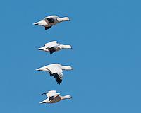 Snow Geese in flight, Bosque del Apache NWR
