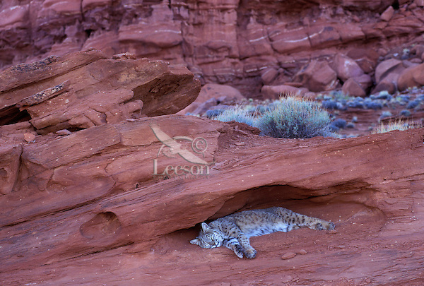 BOBCAT sleeping in rock crevice near Canyonlands National Park, Utah..Rocks provide safety, shade, observation posts and hunting locations..(Felis rufus).