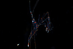 Banded Shrimp larva ,3P's Black Water Diving, Romblon, Philippines, Dream Tour 2018