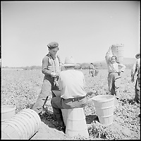 Salinas Valley, Monterey County, California. Piece-time work in peas. A seventeen-year-old boy has his hamper... - NARA - 532154<br /> <br /> May 2, 1940<br /> <br /> <br /> Partridge, Rondal, 1917-, Photographer