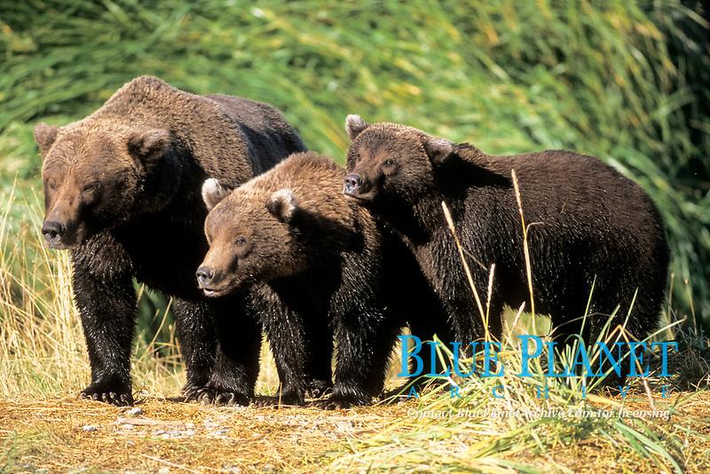 brown bear, Ursus arctos, grizzly bear, Ursus horribilis, mother with cubs along east coast of Katmai National Park on the Alaskan peninsula, USA