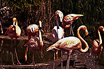 caribbean flamingos wading in pond