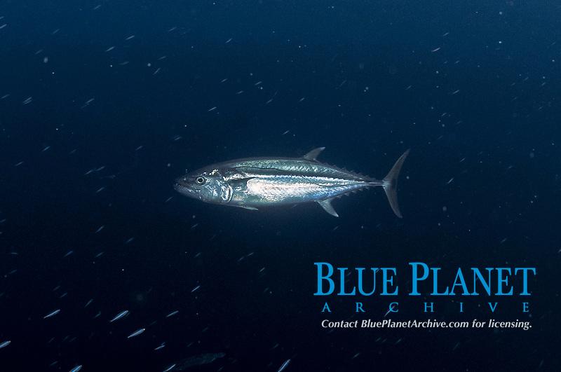 Dogtooth Tuna | Gymnosarda unicolor, Abbot's Eddy dive site, Kadola Island, Penyu Group, near Lucipara, Indonesia, Banda Sea, Pacific Ocean