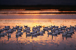 Snow geese flock at sunset, North America
