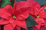 Red Poinsettia Detail (Euphorbia pulcherrima)