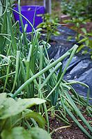 Scallion onions in organic vegetable garden; Elvin Bishop garden