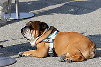 9th September 2021; Nationale di Monza, Monza, Italy; FIA Formula 1 Grand Prix of Italy, Driver arrival and inspection day: Lewis Hamiltons Dog Roscoe