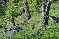 """Wild Black Bear (Ursus americanus) mother with cubs wandering through open forest area.  Western U.S., spring. (These are what are known as """"coys""""--cubs of the year.)"""