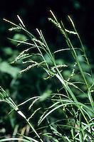 Wald-Segge, Waldsegge, Carex sylvatica, wood sedge, La Laîche des bois