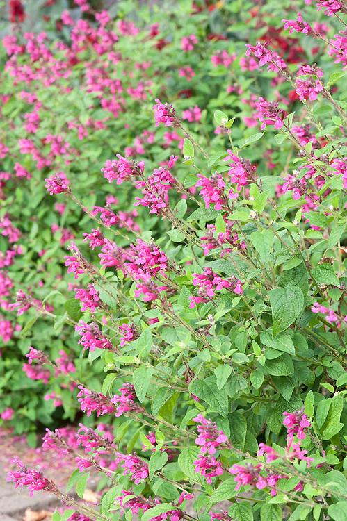 Salvia involucrata 'Joan', early October.