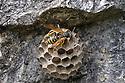 European Paper Wasp {Polistes gallicus} on nest. Nordtirol, Tirol, Austrian Alps, Austria. June