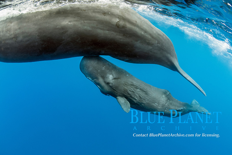 A mother and calf Sperm whale, Physeter macrocephalus, The sperm whale is the largest of the toothed whales Sperm whales are known to dive as deep as 1,000 meters in search of squid to eat Image has been shot in Dominica, Caribbean Sea, Atlantic Ocean Photo taken under permit #RP 16-02/32 FIS-5