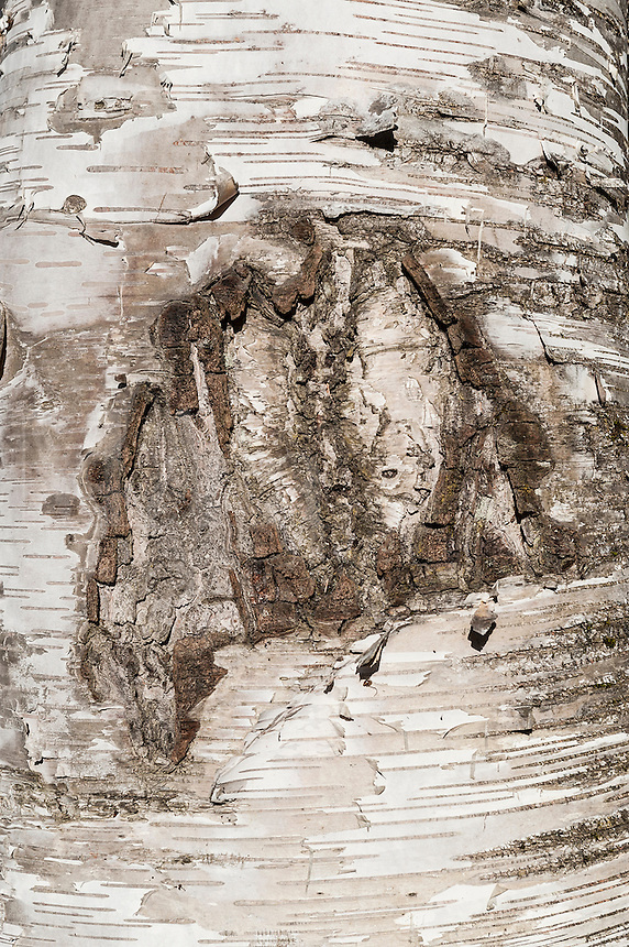 Detail of birch tree bark, Vermont, USA