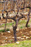 detail of a vine Cordon Royat training before final pruning with old twigs and branches still on the vine, also showing how it looks when you du surgreffage (surgreffe, surgreffé), topworking in English, you top graft a new grape variety on an existing vine (or fruit tree) to change the variety of the fruit, you can see where the graft has been done: at the joint or knot on the trunk of the vine. Surgreffage is expensive and rarely used. Domaine de Triennes Nans-les-Pins Var Cote d'Azur France