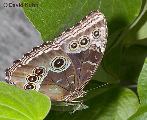0403-08nn  Blue Morpho Butterfly, Morpho peleides or Morpho helenor peleides, South and Central America © David Kuhn/Dwight Kuhn Photography