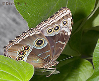 0403-08nn  Blue Morpho Butterfly, Morpho peleides or Morpho helenor peleides, South and Central America © David Kuhn/Dwight Kuhn Photography