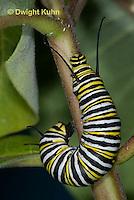 MO02-526z  Monarch Caterpillar on Milkweed - Danaus plexipuss