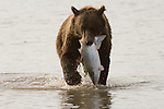 Brown bear with a freshly caught salmon near the mouth of the creek in Lake Clark National Park, AK