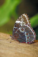 "MORPHO PELEIDES, """"Common Morpho Butterfly"""". Subfamily - Morphinae; Family - Nymphalidae; Order - Lepidoptera; Class - Insecta.  Range - Neotropical. Hostplants - Macharium, Pterocarpus, Lonchocarpus, Platymiscium, Swartzia, Dalbergia, Mucuna. NEW ORLEANS"