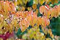 Autumn foliage of Cornus kousa, early November.