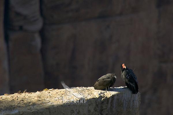 California Condors (Gymnogyps californianus)--adult with young untagged condor.  Grand Canyon, Arizona.