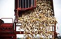 19/09/18 - CREVANT LAVEINE - PUY DE DOME - FRANCE - Recolte de maïs semence a l aide d un Corn Picker laterale BOURGOIN - Photo Jerome CHABANNE