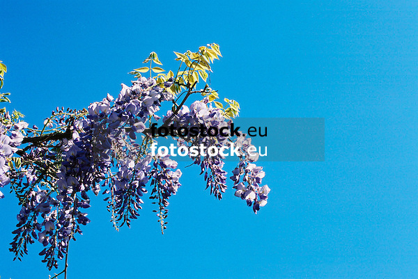 Glycinie (Glycine wisteria)<br /> <br /> 1840 x 1232 px<br /> 150 dpi: 31,16 x 20,86 cm<br /> 300 dpi: 15,58 x 10,43 cm<br /> Original: 35 mm