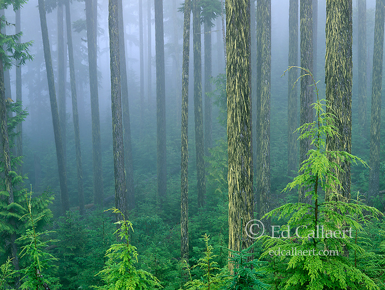 Mist, Western Hemlock, Tsuga heterophylla, Olympic National Park, Washington