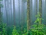 Mist, Western Hemlock, Tsuga heterophylla, Olympic National Park, Washington