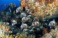 Black-silk butterflyfish, Chaetodon daedaima, Chichi-jima, Bonin Islands, Ogasawara, Tokyo, Japan, Pacific Ocean