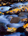 Inyo National Forest, CA<br /> Fall colored cottonwood leaves among the rocks of McGee Creek in the Eastern Sierras