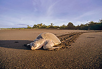 "Olive Ridley Turtle, Lepidochelys olivacea, returning to sea after laying eggs during Arribada ""Arrival"", Ostional - Costa Rica, Pacific Ocean"