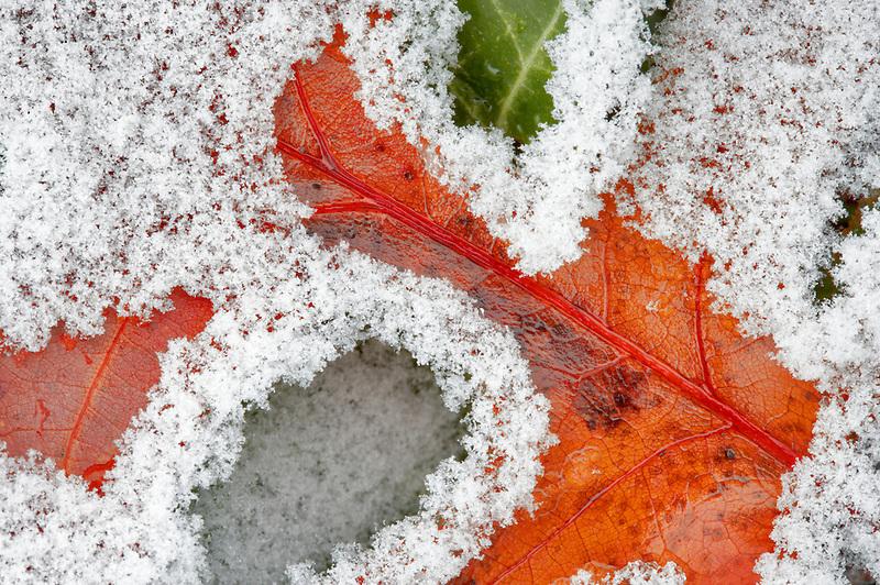 Oak leaf with hoar frost. Wilsonville. Oregon