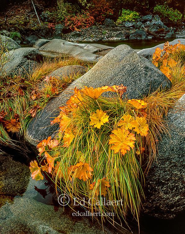 Indian Rhubarb, Merced River, Yosemite National Park, California