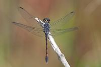Seaside Dragonlet (Erythrodiplax berenice) Dragonfly - Male-like Female, Merritt Island National Wildlife Refuge, Titusville, Brevard County, Florida