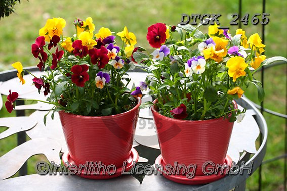 Gisela, FLOWERS, BLUMEN, FLORES, photos+++++,DTGK2465,#f#, EVERYDAY