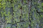 Wolf Lichen (Letharia vulpina) on Colorado Fir (Abies concolor), Sierra Nevada, Sequoia National Park, California