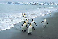 King penguins (Aptenodytes patagonicus) walking along beach, South Georgia Island.