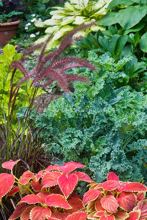 Kale vegetable and Solenostemon Coleus Salmon, Coleus Pineapple Queen, Pennisetum rubrum ornamental grass, hosta, vegetable with perennials and annual foliage plants