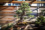 Le bonsaï (盆栽, bonsai) ou bonzaï1, culture miniaturisée de végétaux, est un art traditionnel japonais. Genève mars 2021.