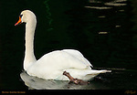 Mute Swan, Echo Park, Los Angeles, California
