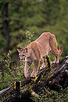 Mountain Lion or cougar (Puma concolor).  Western U.S.