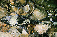 Seeskorpion, See-Skorpion, Myoxocephalus scorpius, Cottus scorpius, Father Lasher, shorthorn sculpin, bull rout, bull-rout, short-spined seascorpion