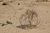 Dune evening primrose, Oenothera deltoides, Algodones dunes, Imperial County, California.  Also known as desert birdcage, desert lantern, or lion-in-a-cage because of the way the dried stems curl into a cage-like structure.