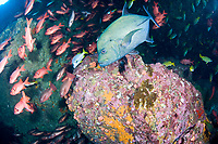 black jack or black trevally, Caranx lugubris, and schooling snappers and soldierfish, Cocos Island, Costa Rica, Pacific Ocean