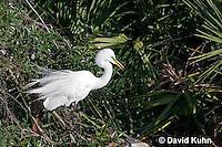0310-0882  Great Egret Displaying Breeding Plumage, Ardea alba © David Kuhn/Dwight Kuhn Photography