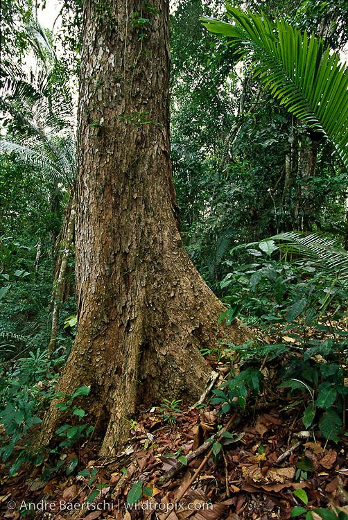 Mahogany tree (Siwetenia macrophylla) in primary lowland tropical rainforest, Alto Purus National Park, Ucayali, Peru.